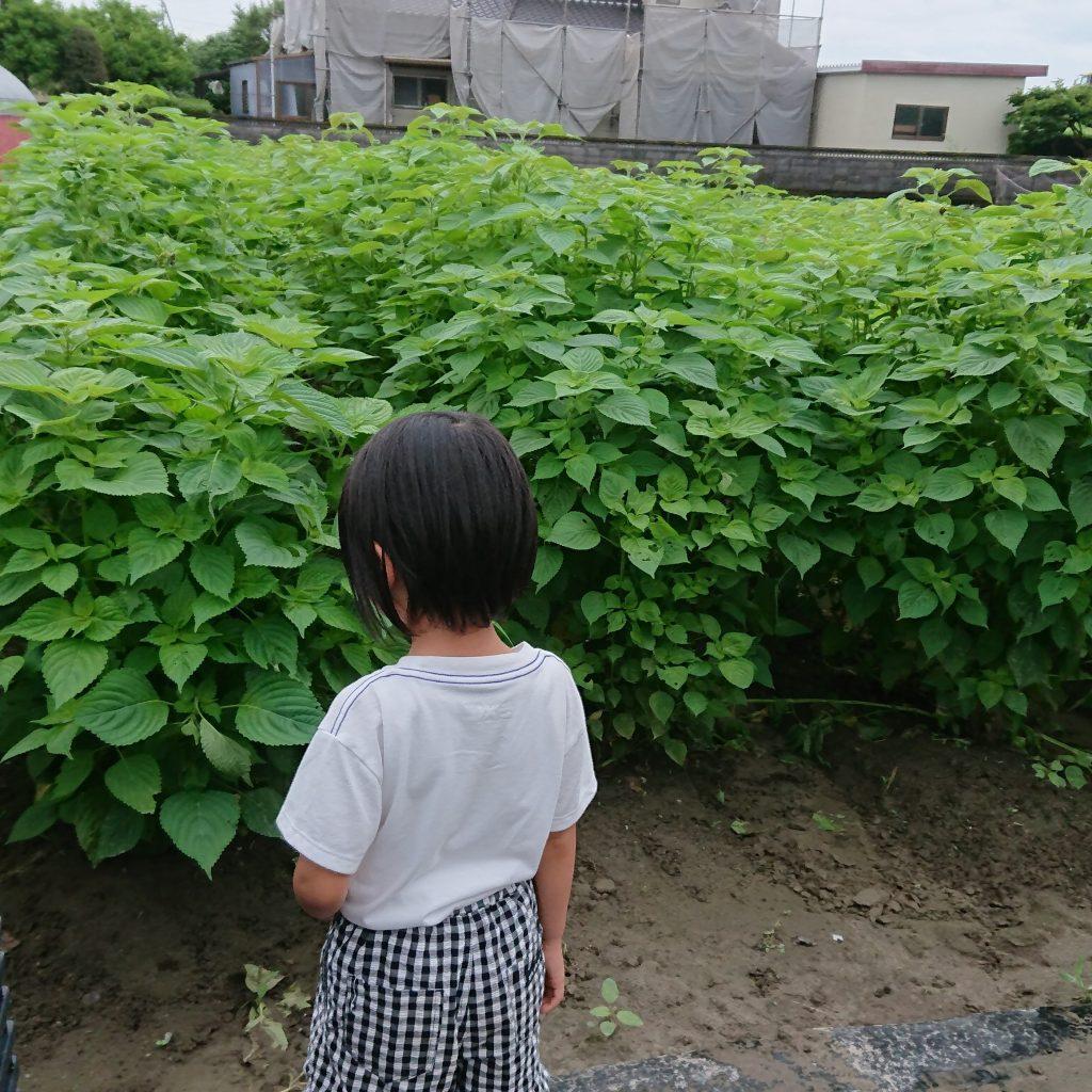 えごま葉用種